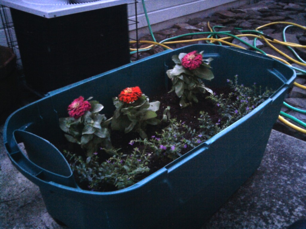 We filled a huge storage bin with potting soil and planted Mexican heather and zinnias