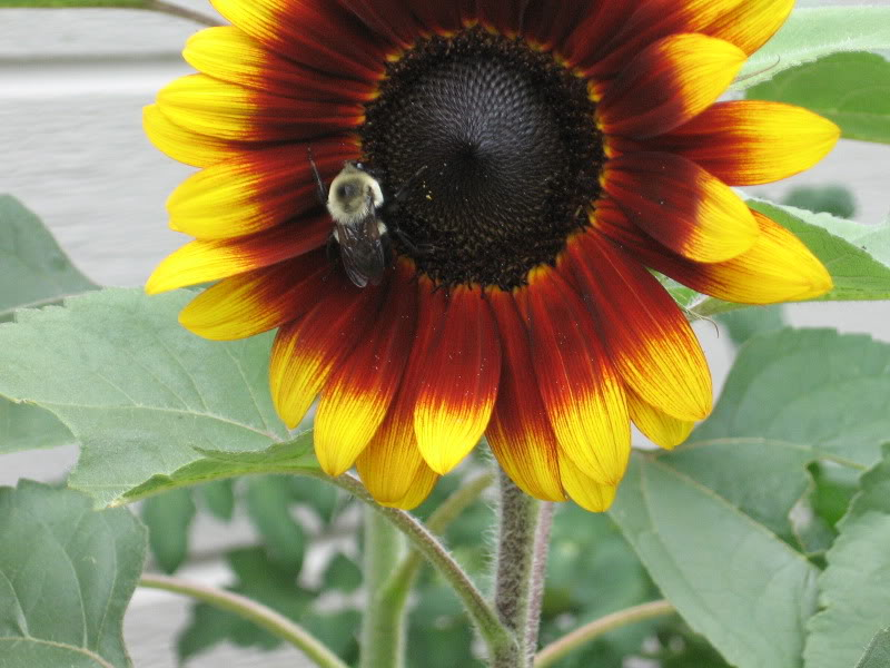 gravatar image sunflower