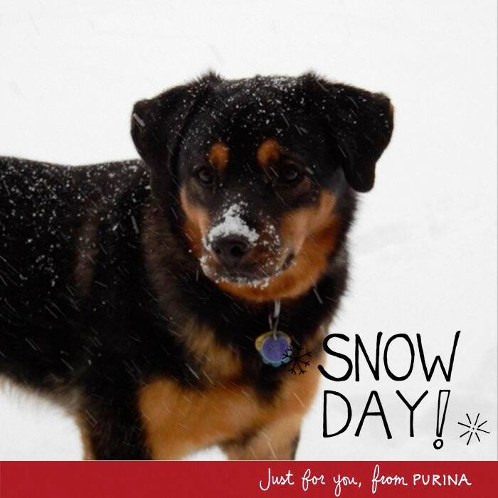This is a great photo of Flower, who loves the snow. She loves eating the snow, hence the smudge on her nose. The cool thing about this photo is that I tweeted out the original and the dog food company Purina's twitter account picked it up. They made this graphic for me and tweeted it back out. Brilliant social media strategy on their part and now I have a great picture of my dog!