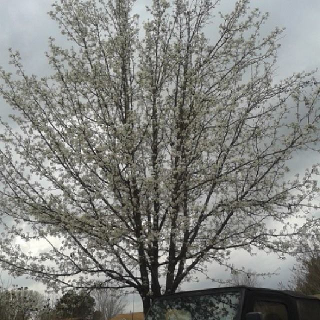 Bradford Pears are kind of annoying trees but they are pretty when they bloom!