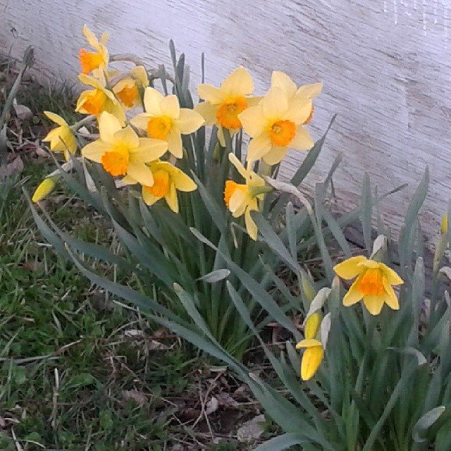 These daffodils come up next to our shed in the backyard. So pretty!