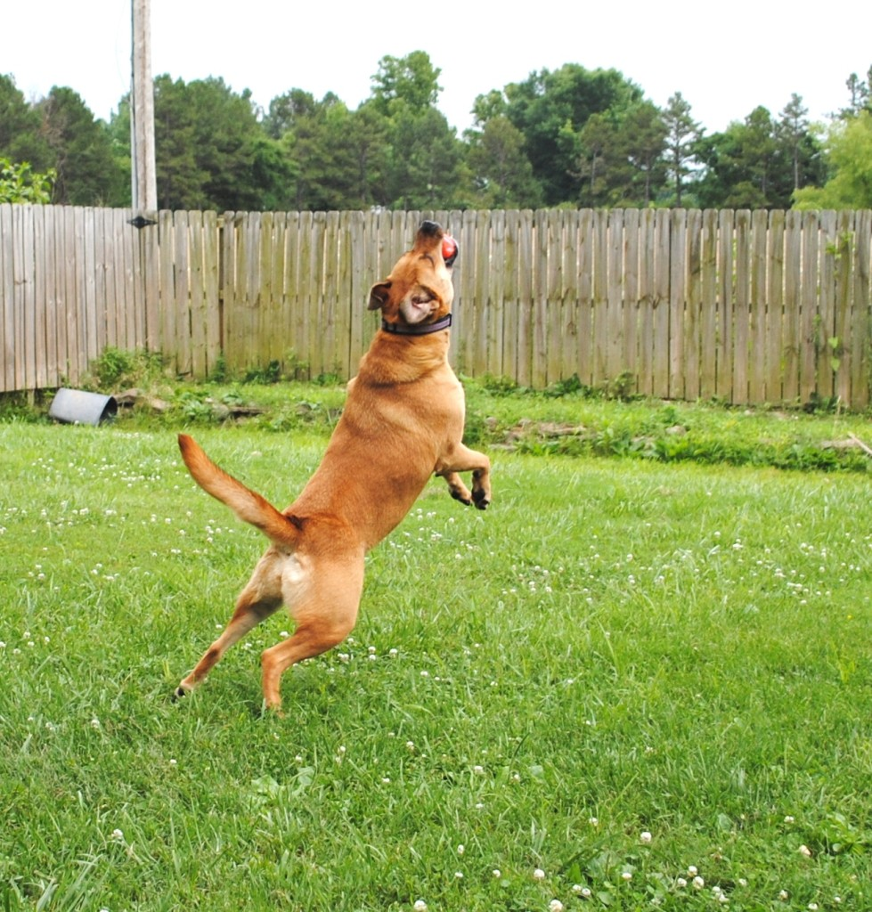 Jazzy is our Black Mouth Cur mix and she's a powerhouse! I love this shot of her leaping in the air to catch a ball.