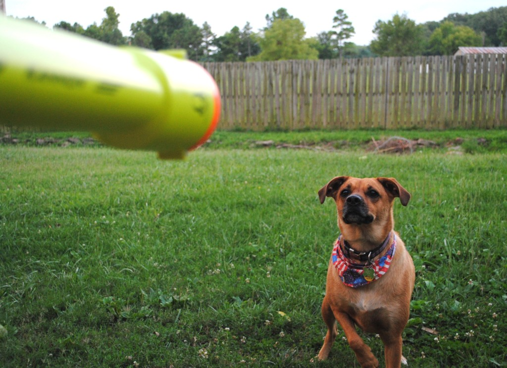 I promise that K-9 cannon is not pointed at Jazzy's head! That dog loves to play fetch and I try to get some break time to spend with her doing just that. Flower isn't a fetcher type dog but she loves having us out in the backyard to play around with, too.