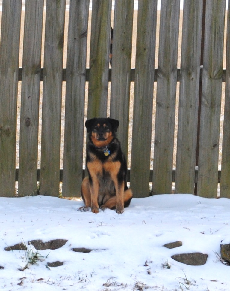 Flower loves to supervise us from the back fence where she can see anywhere in the yard. She does this in all weather!