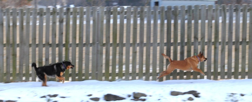 The neighbors' dog decided to come to the fence to play so both dogs went nuts running along the fence.