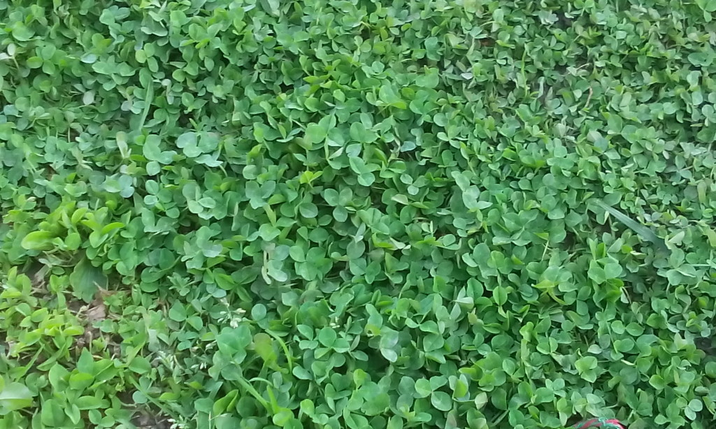 One quick note about your yard: be aware of ground-dwelling pests like ground-dwelling wasps. They love clover patches like this. We had to take Flower to the vet a couple of years ago because she got stung about four times in the snout when she discovered a wasp nest.