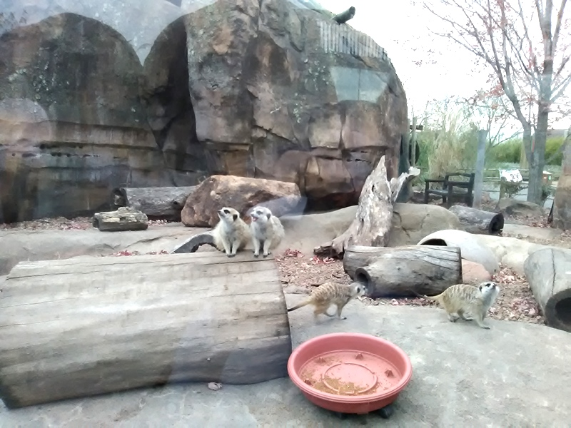 Not sure why I was drawn to the meerkats but they were hilarious to watch! Several climbed on this log to pose.